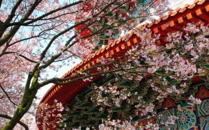 temple-cherry-blossom