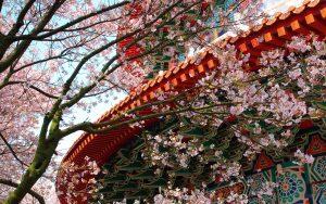 temple-cherry-blossom